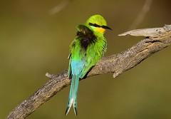 Swallow-tailed Bee-eater (Merops hirundineus) (Ian N. White) Tags: swallowtailedbeeeater meropspersicus meropshirundineus darnawayfarm botswana