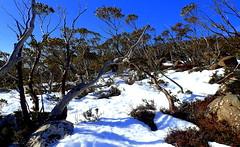 TREE SHADOWS (Lani Elliott) Tags: nature naturephotography lanielliott snow trees shadows light bright white blue bluesky mountwellington winter scene scenic view scenictasmania landscape australia tasmania wow gorgeous