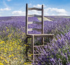 A Place to Reflect (judepics) Tags: hitchin lavender farmlavender chaor flowers hertfrdshire ickleford