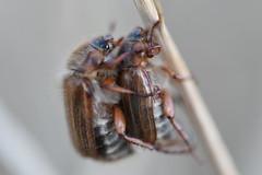 Love me tender... (Jojorei) Tags: love sex animals tiere fauna flora kaefer maikaefer fortpflanzung braun hairy haarig brown grau grey natur nature nikon nikkor105micro micro mikro macro makro