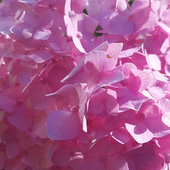 (Iggy Y) Tags: hydrangea macrophylla spring blossom flower red color flowers nature park garden plant velelisna hortenzija hortensia sunny day light