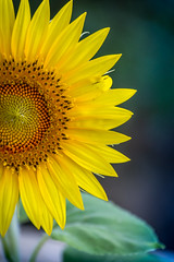 the rising sunflower (Pejasar) Tags: flower yellow sunflower garden home tulsa oklahoma morning risingsunflower growth brilliance color life