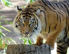 Intense Stare [In Explore 7/8/17] (greekgal.esm) Tags: sumatrantiger tiger bigcat cat feline animal mammal carnivore losangeleszoo lazoo losangeles griffithpark california sony rx10m3 rx10iii indah