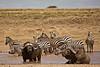 Buffalo and Zebra 1 (Grete Howard) Tags: bestsafarioperator bestsafaricompany africa africansafari africanbush africananimals whichsafaricompany whichsafarioperator tanzania serengeti animals animalsofafrica animalphotos lions lioncubs maasaikopjes kopjes kopje