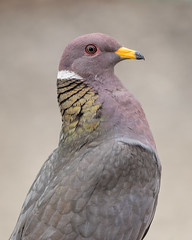Band-tailed Pigeon [Explored 7/4/17 #106] (Becky Matsubara) Tags: bandtailedpigeon bird birds dove pigeon pigeons patagioenasfasciata nature wildlife avian btpi