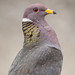 Band-tailed Pigeon [Explored 7/4/17 #106]
