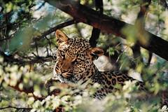 Düsternbrook Leopard (Explored) (Robert Holler Photography) Tags: