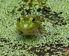 070517_03 (Enjoy Every Sandwich) Tags: rockspringspark ofallonil nature animal frog