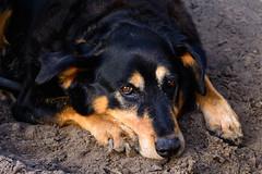Dog Days of Summer (gendarme02) Tags: tx summer 2017 texas d7100 shade dog nikond7100 normangee nikon