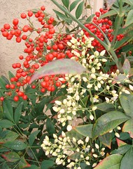 The Holiday Cheer. (Esther Spektor - Thanks for 10+ millions views..) Tags: flowers red plants white holiday color green leaves garden symbol simplyflowers fantasticflowers stillphotography wonderfulworldofflowers awesomeblossoms hibiscuswonder