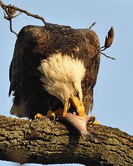 Eagle With Fish For Lunch (Angel Cher ) Tags: portrait fish bird animal angel portraits river de photography md nikon photographer eagle dam lol wildlife flight baldeagle nj maryland explore raptor cher d3 wildlifephotographer susquehannariver americanbaldeagle conowingo conowingodam wildlifephotography explored photography flickersbest sharinglifesjourney newjerseyphotographer angelsphotos angelcher njphotographer angelchersphotography nikon500mm dec920093added 624yesterday1029alltimebydec11th explorescout4dec9th2009 angelcherswildlifephotography angelchersphotography angelcher chers lmaotags angelchersimages cherswildlifeandnaturephotos angelcherlovesphotography angelcher65onzazzle angelcherisonqoop nikographerfriend shootpicsfriend petez28friend nikographerjonfriend angelcheristagging photocontesttnc11 wildliefephotographernj njwildlifephotographer angelcherphotoshelter