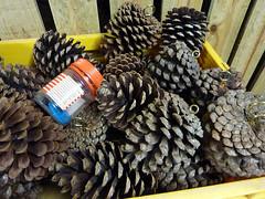 pine cones, 142/365