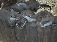 family of otters (kitcat1988) Tags: animals otters otterfamily