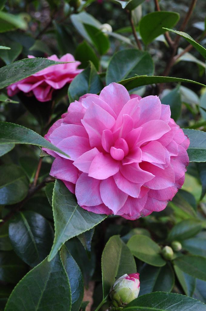 Camellia jaonica 'Les Marbury'
