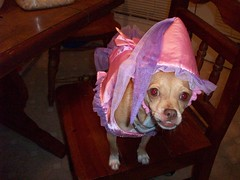 203_0583 (yellerhammer) Tags: dog chihuahua cute princess