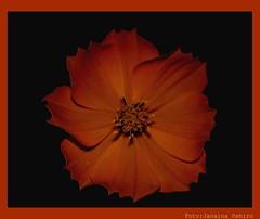 O Desabrolhar De Uma Flor!!!! ( Photography Janaina Oshiro ) Tags: orange flower macro japan laranja flor noturna japo janainaoshiro