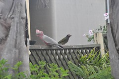 Galah and friend (D70) Tags: new bird wales friend wildlife south australian australia newsouthwales galah pinkandgrey eolophusroseicapilla galahcockatoo rosebreastedcockatoo roseatecockatoo