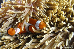 Looking into the Horizon (eddywongch) Tags: indonesia underwater scuba olympus clownfish anemone inon sp350 rajaampat seaseays110 msyseahorse