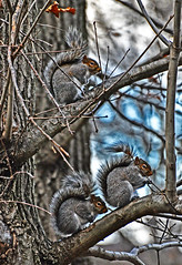 3 squirels in a tree (boogerfingers) Tags: 3 tree nature animals furry nikon funny warm wildlife freezing tres col squirel squirels d5000 nikond5000