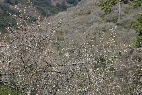 滿山坡的白梅花