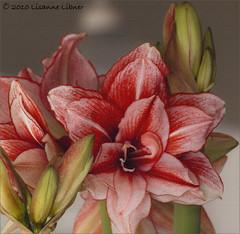 """Amaryllis"" By Morning (dingopaint) Tags: house flower colorado january canvas evergreen 2010 lisanne amarylllis"