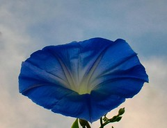 Glory-ous morning (Mona Loldwoman (Look for the good)) Tags: blue morningglory bluemorningglory convolvus goodnewsnow aztecflower medicineinchina pre9thcenturyflower historicalflower