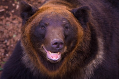 Smiling Brown Bear (aeschylus18917) Tags: bear nature japan zoo tokyo nikon wildlife   grizzly ursus brownbear 80400mm ursusarctos uenozoo nkon ursidae carnivora 80400mmf4556dvr  hokkaidobrownbear d700 80400mmf4556vr onshiuenodbutsuen nikond700 danielruyle aeschylus18917 danruyle druyle  ursusarctoslasiotus ussuribrownbear blackgrizzly ursusarctosyesoensis