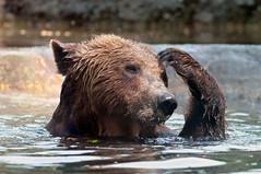 [フリー画像] [動物写真] [哺乳類] [熊/クマ] [考える/悩む] [お風呂/水浴び]      [フリー素材]