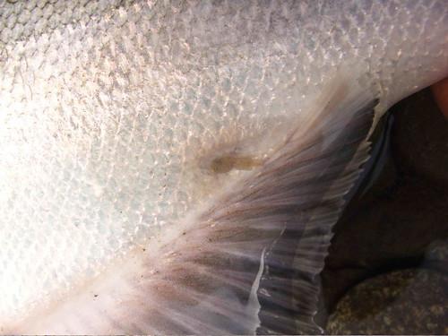 Jay Nicholas Sea Lice 3