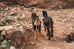 Best Friends for Life (AdamAxon) Tags: atlasmountains morocco goats
