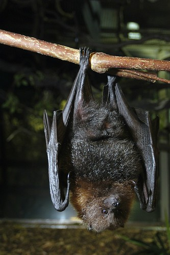 Rodrigues Fruit Bat Ryan Hawk