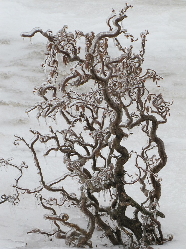Harry lauder walking stick trees - Harry Lauder S Walking Stick By Brian Kampling Weird Tree