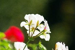Gėlė (Zitute) Tags: gamta gėlė medžiai gėlės