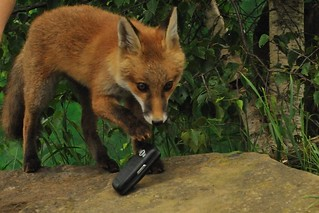 Fox Cub with Mobile Phone