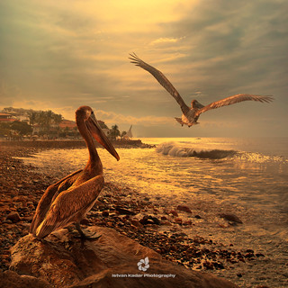 The Loving Pelicans