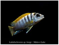 labidochromis hongi_800_02 (Bruno Cortada) Tags: malawi marino mbunas cclidos sudafricanos tanganyica