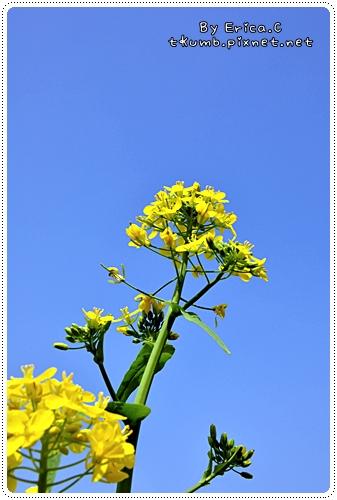 油菜花 (6)