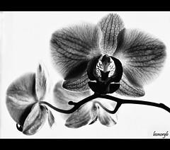 Mi orqudea (Leonorgb) Tags: planta blancoynegro leo flor bn phalaenopsis orqudea ptalo