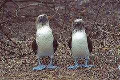 Blue-footed Booby (Sula nebouxii) (Lars L. Iversen) Tags: de puerto la plata lopez isla booby sula bluefooted nebouxii