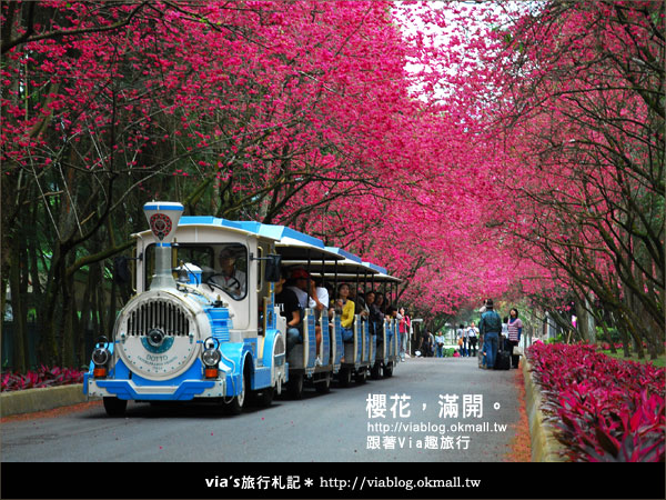 【九族櫻花季】櫻花滿開!最浪漫的九族文化村櫻花季39