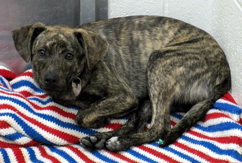 Plott Hound Bear Dogs For Sale Grey And Blue Plott