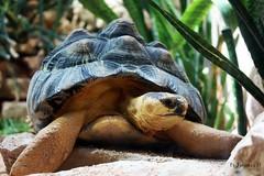 IMG_1383b (Acchiapparatti) Tags: canon zoo turtle reptile distillery tartaruga rettile eos450d