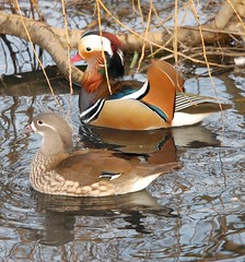 Mandrin Duck and Drake (dave millers photos) Tags: world birds duck drake mandrin
