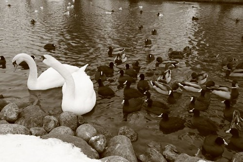 Swan - the national bird in Denmark...