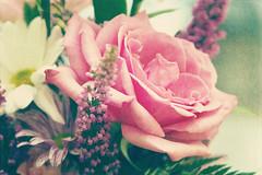Soft Rose
