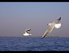 Ek Mai Aur Ek Tu.... (D a r s h i) Tags: two birds pair ahmedabad seaguls nalsarovar