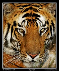 Tiger Portrait (Saran Vaid) Tags: wild portrait india beautiful beauty face closeup cat fur mammal golden nationalpark amazing dangerous eyes feline asia king glare expression stripes wildlife tiger royal reserve safari exotic jungle killer tigers stare beast hunter endangered predator wildcat habitat majestic powerful carnivorous rare bengal 70200 soe animalplanet sanctuary extinct alert animalkingdom carnivore savage sighting potofgold bengaltiger madhyapradesh pantheratigris bandhavgarh tigerface jeepsafari tigerreserve big tigershow bej bandhavgarhnationalpark projecttiger canonef70200mmf4lisusm platinumphoto royalbengaltiger flickrdiamond theunforgettablepictures cats canoneos7d tigersighting tigerindia rubyphotographer