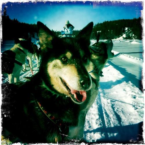 My sled team lead dog #tnmh