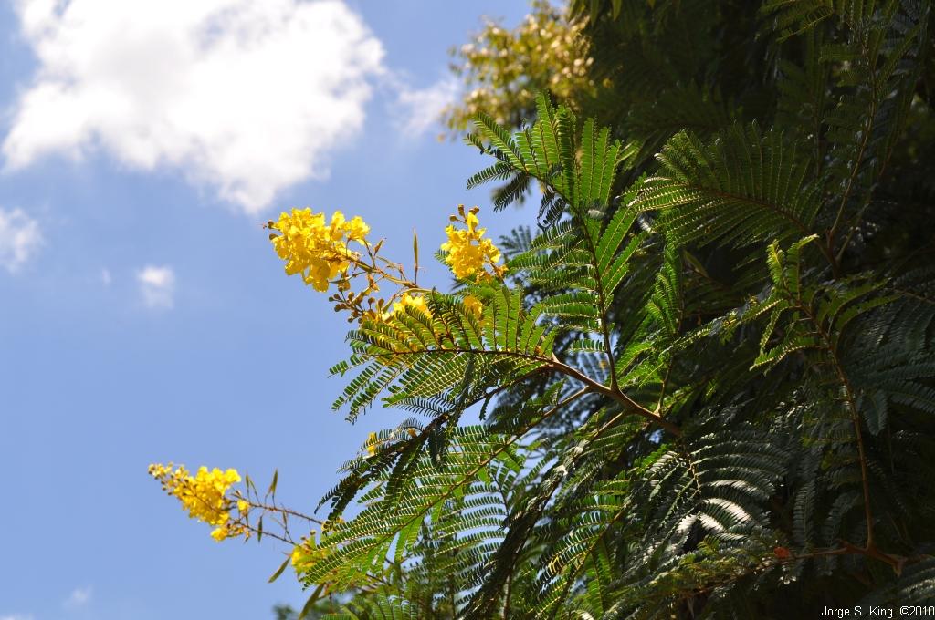 Flor del Yvyrá-pytá