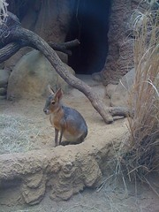 Patagonian Cavy at Lincoln Park Zoo